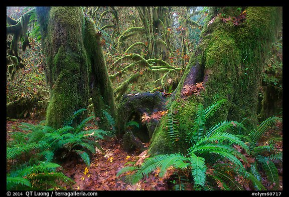 Ferns and moss covered maples, Hall of Mosses, Hoh Rain forest. Olympic National Park (color)