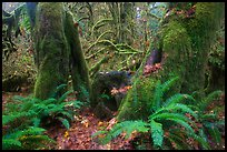 Ferns and moss covered maples, Hall of Mosses, Hoh Rain forest. Olympic National Park ( color)
