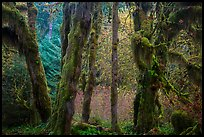 Hoh Rain Forest in autumn. Olympic National Park ( color)