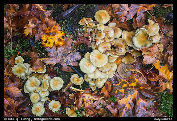 Close-up of mushrooms, Hoh Rain Forest. Olympic National Park (color)