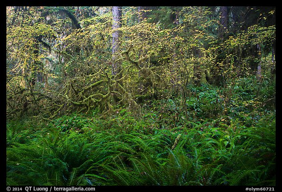 Ferns and maples in autumn, Hoh Rain forest. Olympic National Park (color)