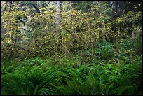 Ferns and maples in autumn, Hoh Rain forest. Olympic National Park ( color)