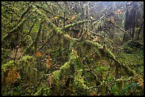 Moss-covered branches, Hoh Rain Forest. Olympic National Park ( color)