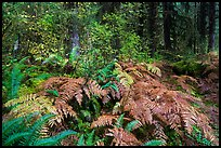 Ferns in autumn, Hoh Rain Forest. Olympic National Park ( color)