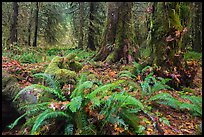 Autumn in Hoh Rain Forest. Olympic National Park ( color)