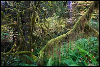 Branch with hanging mosses and autumn colors in Hoh Rainforest. Olympic National Park, Washington, USA.