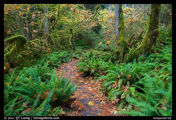 Trail in autumn Hoh Rain Forest. Olympic National Park (color)