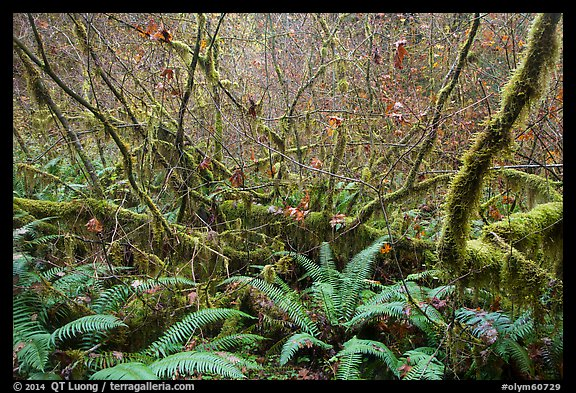 Ferns and thin branches, Hoh Rain Forest. Olympic National Park (color)