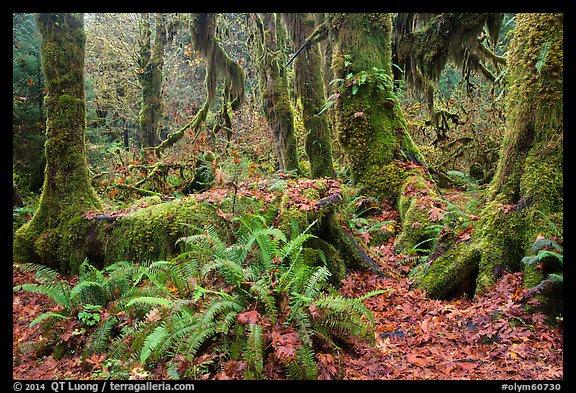 Ferns, nurse log, moss-covered maple trees, and fallen leaves, Hoh Rainforest. Olympic National Park (color)