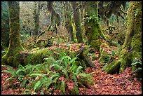 Ferns, nurse log, moss-covered maple trees, and fallen leaves, Hoh Rainforest. Olympic National Park ( color)