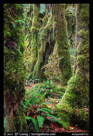 Moss-covered maples in autumn, Hall of Mosses. Olympic National Park (color)