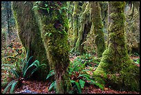 Ferns and maples covered by selaginella moss in autumn, Hall of Mosses. Olympic National Park ( color)