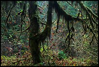 Moss-covered trees and rain forest with autumn foliage. Olympic National Park ( color)