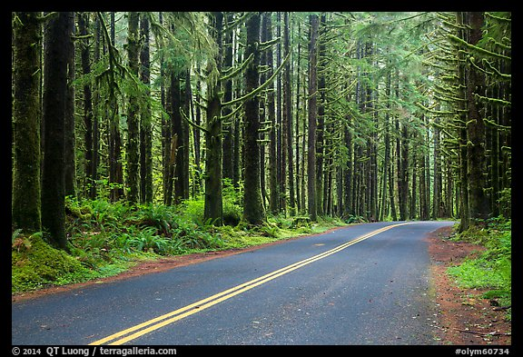 Road, Hoh Rain Forest. Olympic National Park (color)