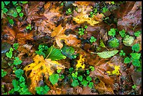 Forest floor with fallen leaves and clover, Quinault. Olympic National Park ( color)