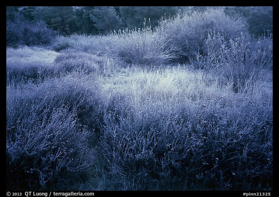 Grasses and shrubs with early morning frost. Pinnacles National Park (color)