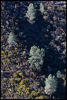 Trees and chapparal-covered slope. Pinnacles National Park ( color)
