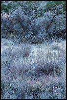 Frozen grasses and shrubs. Pinnacles National Park ( color)