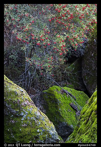Toyon tree with red berries, Bear Gulch. Pinnacles National Park (color)