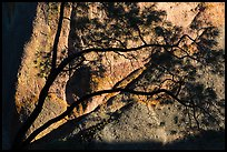 Tree silhouette against rock wall, Machete Ridge. Pinnacles National Park ( color)
