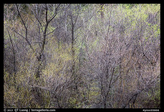 Bare branches and new leaves in spring. Pinnacles National Park (color)