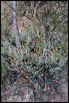 Orange flowers, trees, and cliff. Pinnacles National Park, California, USA. (color)