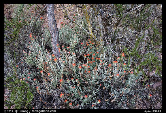 Orange flowers, branches, and cliff. Pinnacles National Park (color)