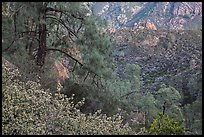 Manzanita blooms and valley with rock formations. Pinnacles National Park ( color)