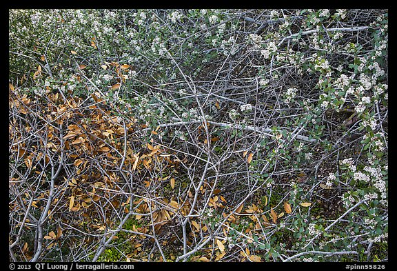 Dried autumn leaves and Manzanita spring blooms. Pinnacles National Park (color)