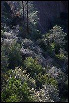 Slope with blooms in spring. Pinnacles National Park, California, USA. (color)
