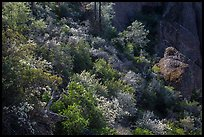 Slope with blooming shrubs in spring. Pinnacles National Park, California, USA.