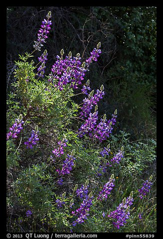 Lupine close-up. Pinnacles National Park (color)