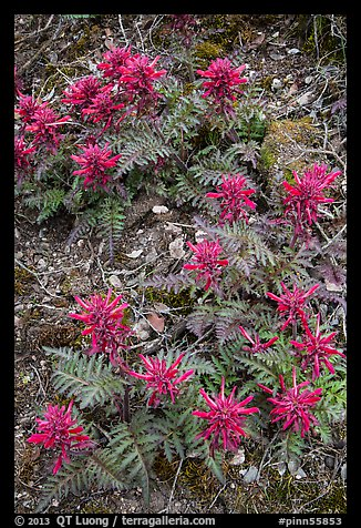 Patch of Indian Warriors (Pedicularis Dens floras). Pinnacles National Park (color)