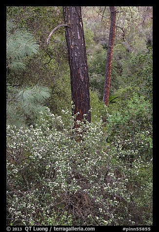 Forest with shrubs in bloom. Pinnacles National Park (color)