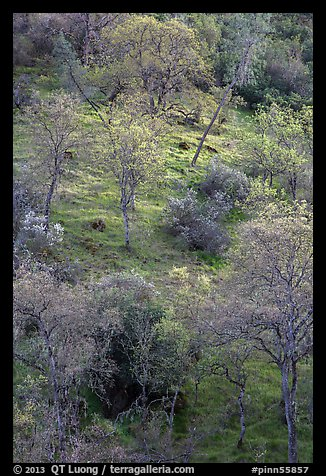 Hillside with newly leafed trees. Pinnacles National Park (color)