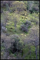 Hillside with newly leafed trees. Pinnacles National Park, California, USA.