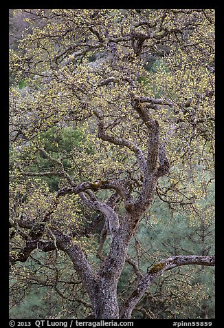 Newly leafed oak tree. Pinnacles National Park (color)