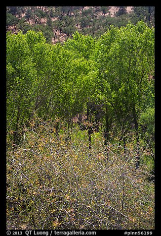 Shrubs, cottonwoods, and oaks in the spring. Pinnacles National Park (color)