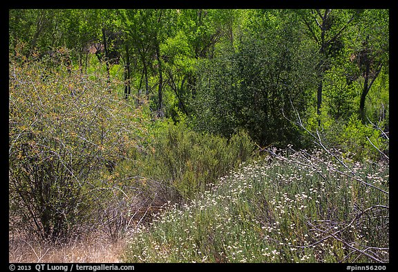 Wildflowers, shrubs, cottonwoods, in the spring. Pinnacles National Park (color)