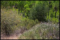 Wildflowers, shrubs, cottonwoods, in the spring. Pinnacles National Park, California, USA.