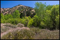 Wildflowers and riparian habitat in the spring. Pinnacles National Park, California, USA. (color)