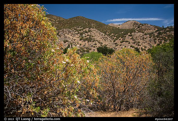 Trees with blooms and old leaves. Pinnacles National Park (color)