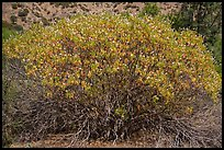 Buckeye in bloom. Pinnacles National Park ( color)
