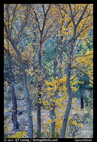 Trees in autumn foliage, Bear Valley. Pinnacles National Park (color)