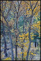 Trees in autumn foliage, Bear Valley. Pinnacles National Park, California, USA.