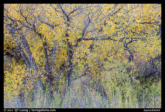 Cottonwoods in fall colors along Chalone Creek. Pinnacles National Park (color)