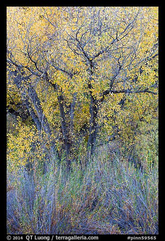Shrubs and cottonwoods in autumn. Pinnacles National Park (color)