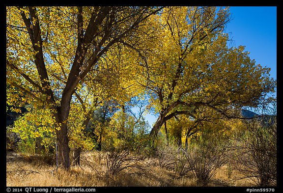 Group of cottonwoods trees in autumn. Pinnacles National Park (color)