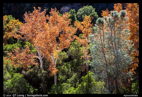 Sycamores and evergreens in autumn along Bear Gulch. Pinnacles National Park (color)