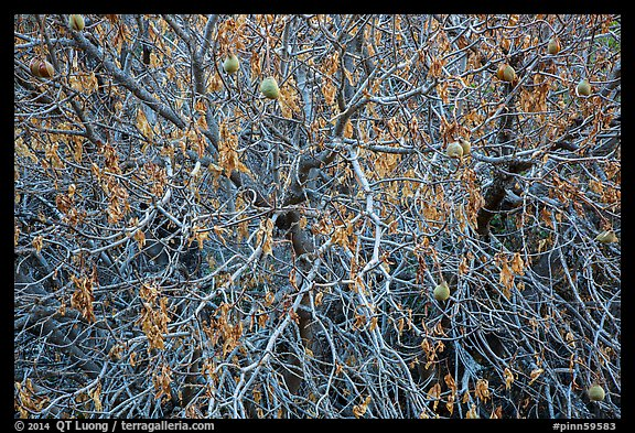 Close-up of Buckeye tree in autumn. Pinnacles National Park (color)